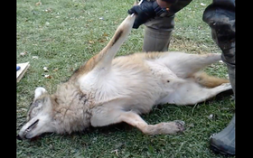 WATCH: How to Skin a Coyote With Compressed Air