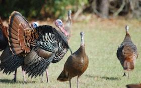 Turkey season takes flight with Osceola season opener