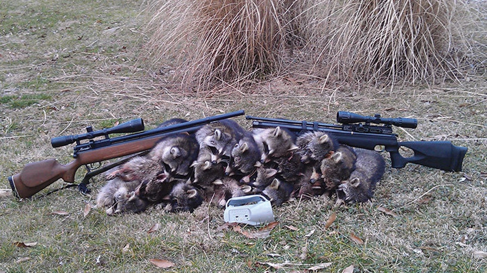 Airguns Are Perfect For Hunting Raccoons | Grand View Outdoors