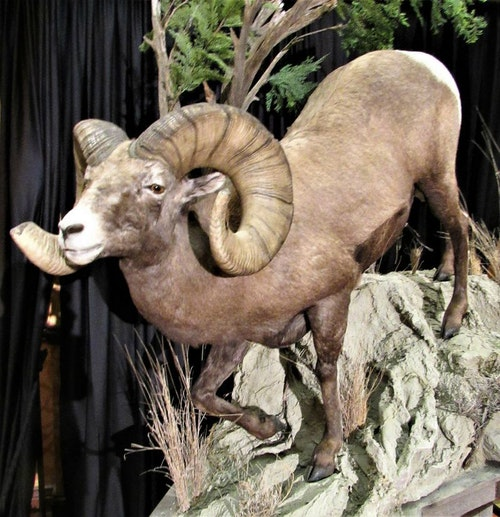 This Rocky Mountain bighorn ram is one of five new P&Y world records showcased at the recent P&Y convention. It was arrowed last year by Clayton Miller in Pennington County, South Dakota, and has an official score of 209 1/8 inches. The former P&Y world record bighorn was an Alberta sheep arrowed by Todd Kirk in 1998. Its score was 199 5/8.