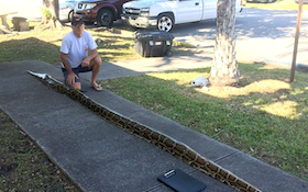 Record Python Caught in Florida and It's a Whopper