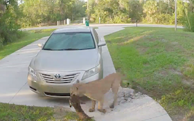 Graphic Video: Hungry Panther Attack on Cat in Driveway