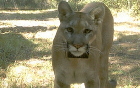 Officials hope to release rehabilitated panther