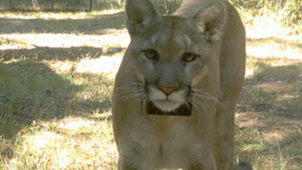 $5,000 Reward Offered In Shooting Of Florida Panther
