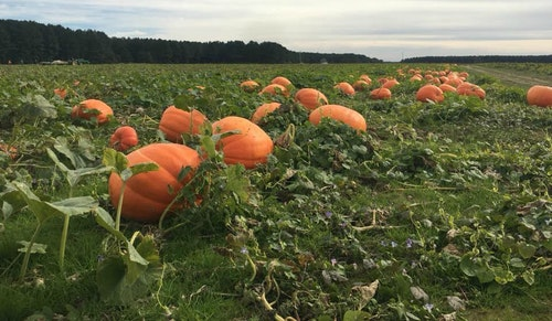 Want to pick your own pumpkins for Halloween? Peebles Farm dedicates 60 acres to you-pick pumpkins.