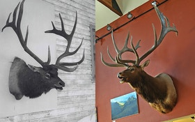 World-Record Plute Bull Antlers Auctioned For $121,000