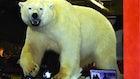 Hunting Polar Bears With a Bow