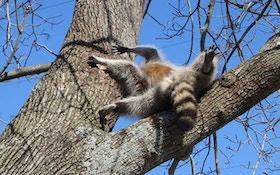 Raccoon Gets Head Stuck In Tree