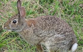 Angry Mother Rabbit Kicks Snake Butt