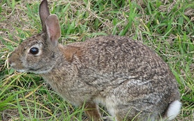 Rabbit hunting offers chance for winter sport