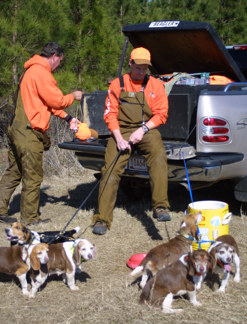 Beagles are primarily the choice for today's rabbit hunters thanks to their grit, determination and willingness to please. A good group of beagles can sniff out a bunny or three in the thickest tangle few hunters want to encounter. (Photo: Alan Clemons)