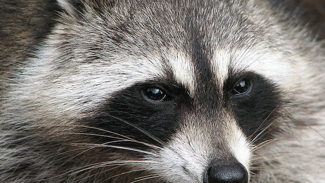 The Best Bait for Trapping Raccoons