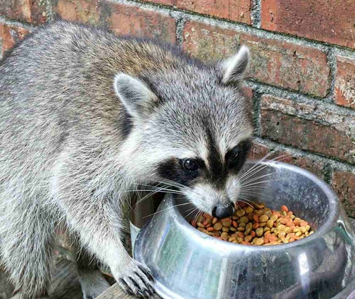 Opportunistic wildlife can spread diseases by feeding at food or water bowls of domesticated pets. (Photo: California Department of Fish and Wildlife)