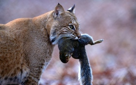 Bobcat proves to be longtime predator hunter's unicorn