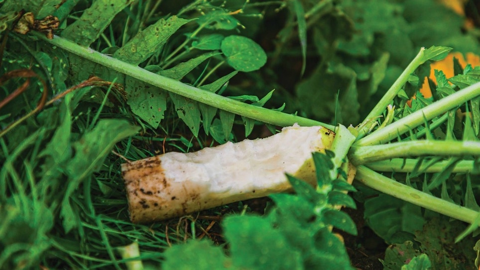 Whitetail Institute Ravish Radish
