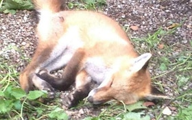 Red Fox Stolen From Ohio Conservation Center