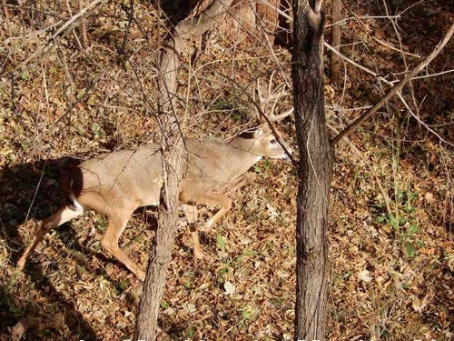 The main reason to consider bowhunting October, specifically the last half of the month, is a hormone issue. Bucks suddenly have a torment of testosterone and it peaks in late October with increased movement.