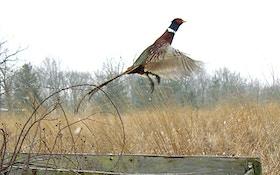 Utah Asks For Help In Raising Pheasants For Hunt