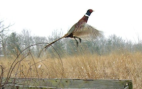 Wildlife Officials Say Iowa Pheasant Numbers Rebounding