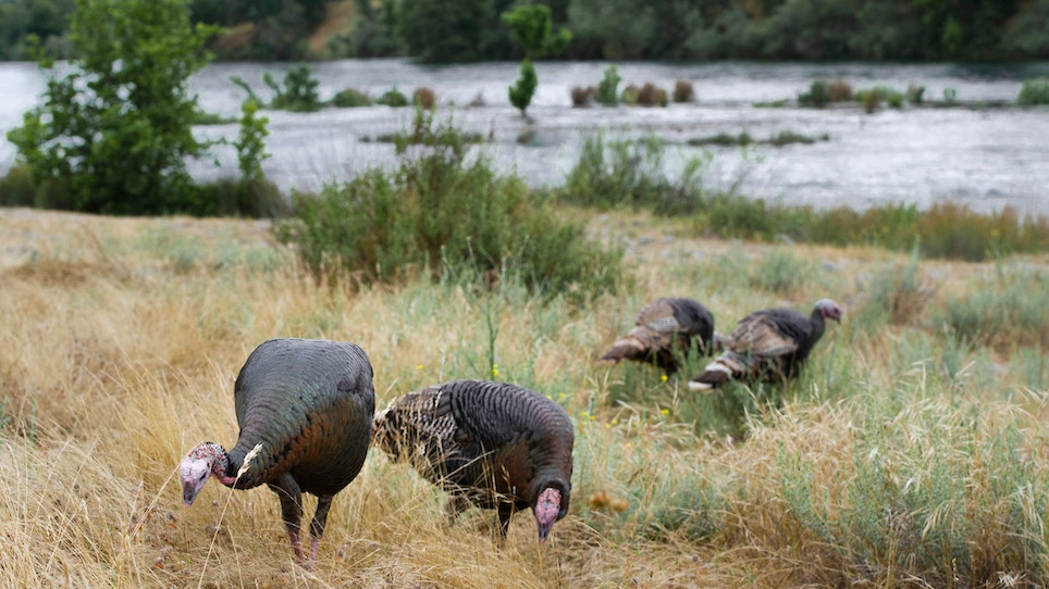 Your guide to hunting Rio Grande turkeys