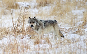 South Dakota Cries 'No Wolf'
