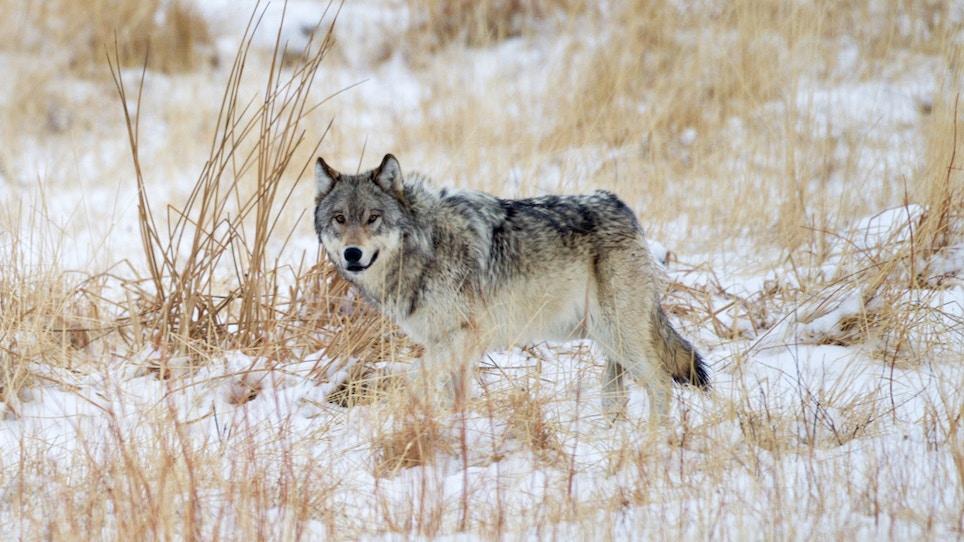 South Dakota Cries 'No Wolf'