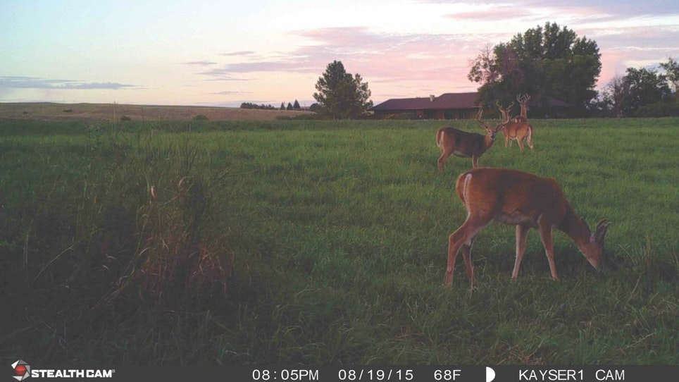 Food plots and agricultural areas always attract summer whitetails for great images.
