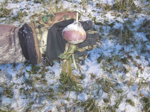 Regardless of whether your whitetail property resides in the wintry North or the dormant South, the winter menu options dwindle like pizza slices on all-you-can-eat buffet. This is when menu planning becomes critical and adding in nutrition such as turnips.
