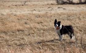 Watch A Decoy Dog Work A Coyote