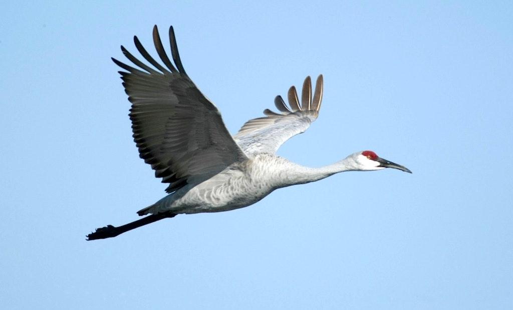 Alabama Announces Sandhill Crane Season