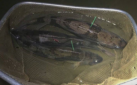 Research Underway on Secretive Sauger in Arkansas