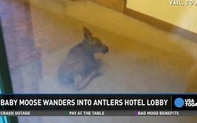 VIDEO: Baby Moose Wanders Through Hotel Lobby