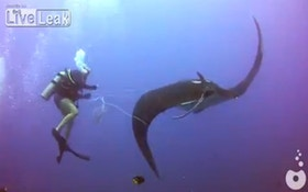 VIDEO: Divers Rescue Trapped Manta Ray