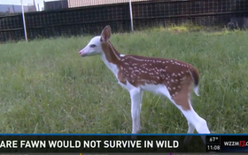 VIDEO: Piebald Fawn Abandoned By Mom, Recovering At Deer Farm