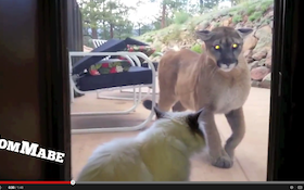 Mt. Lion vs House Cat In Epic Staredown