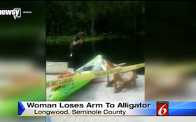 Gator Captured After Attacking, Biting Off Swimmer's Arm