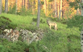 Video Captures What Appears To Be Rare Gray Wolf In Black Hills