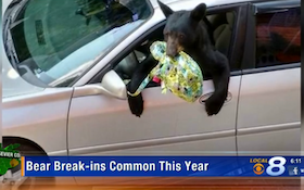 Struggling To Find Food, Bears Set Their Sights On Cars