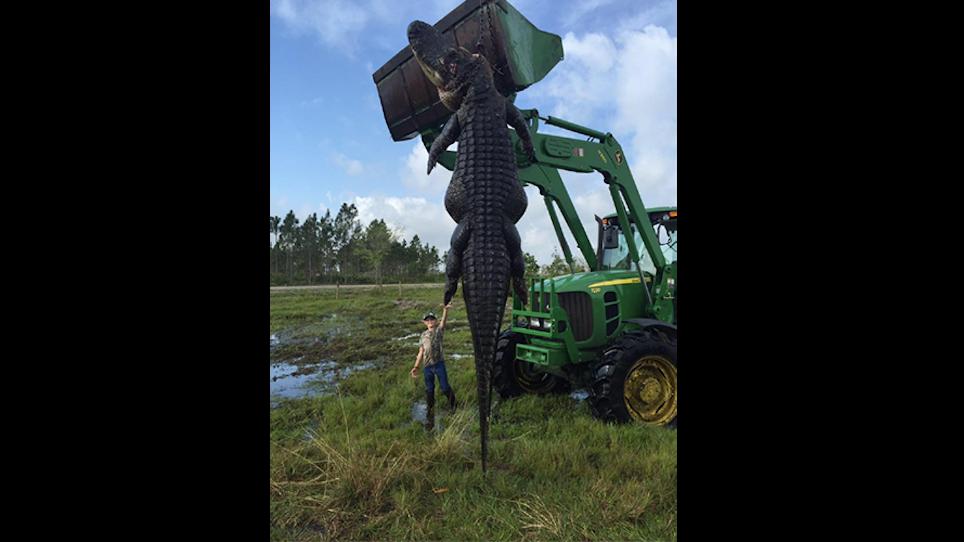 15-Foot, 800-Pound Alligator Killed In Florida
