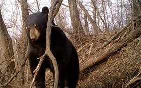 You Won't Believe This Amazing Video Of A Bear Emerging From Its Winter Den