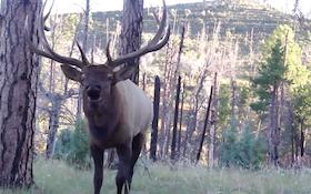 Video: Elk Bugles In Hunter's Face