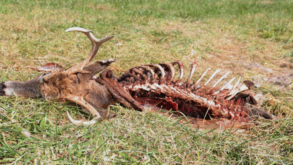 Hemorrhagic Disease Can Bring a Silent Death to Whitetail Deer