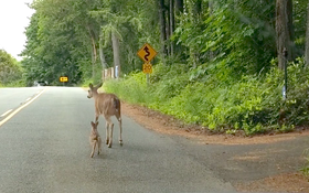 Video: Motorist Captures Video of Doe Nudging Fawn to Safety