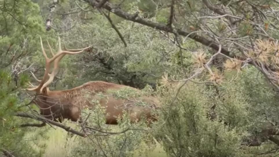How To Bowhunt Elk