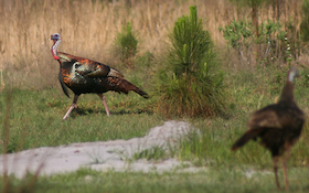 Wild Turkey Time: States with March Hunting Dates and Subspecies by State