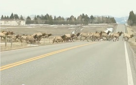 Elk Herd Video, With 1 Straggler, Goes Viral