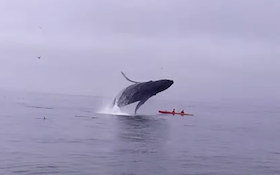 Ouch! Kayakers Slammed By Breaching Humpback Whale