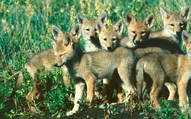 Coyote Breeding Secrets: Inside the Fur Factory
