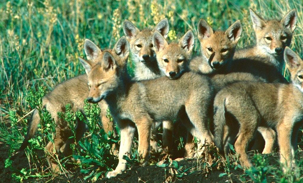 Coyote Breeding Secrets: Inside the Fur Factory