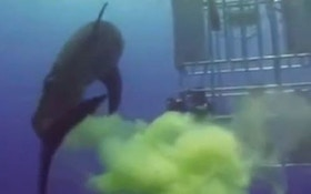 """VIDEO: Great white shark """"farts"""" on divers"""